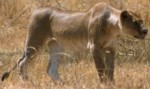 Lioness hunting in Seronera