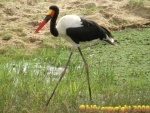 saddled bill stork