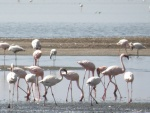 flamingoes in Lake Natron