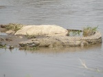 crocodile,  Mara river