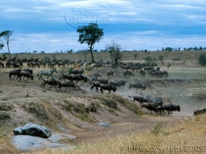 wildebeest in Mara
